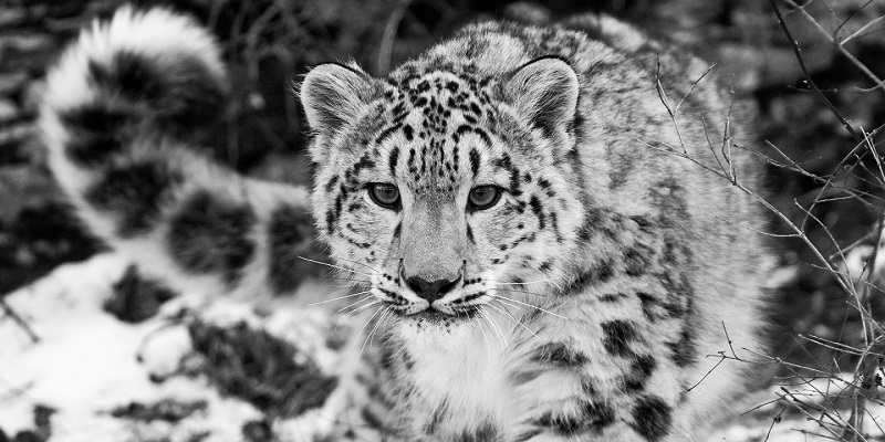 The snow leopards are no longer at risk of extinction